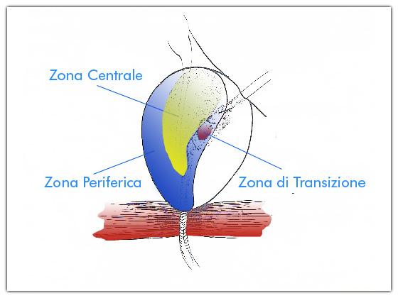 Anatomia Micorscopica della Prostata