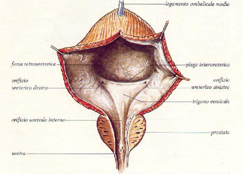 Fisiologia dell'innervazione vescicale