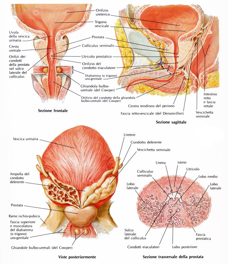 Che cosa bisogna sapere sulla prostata